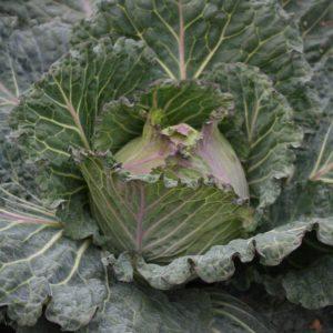 Cabbage Marabel F1