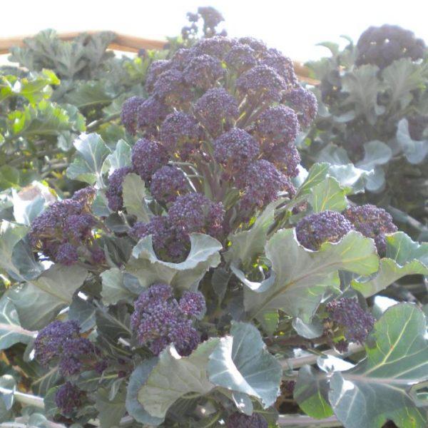 Purple Sprouting Broccoli Rudolph