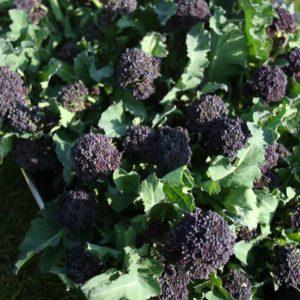 Purple Sprouting Broccoli Summer Purple