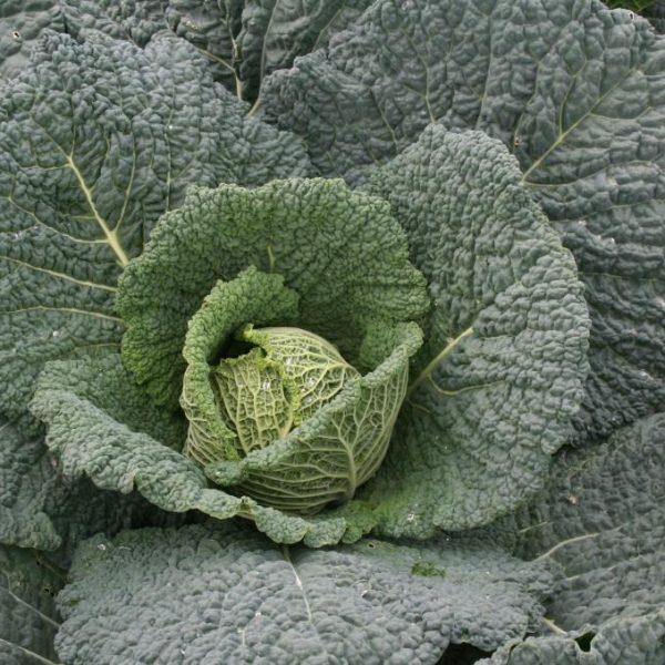 Savoy Cabbage Endeavour