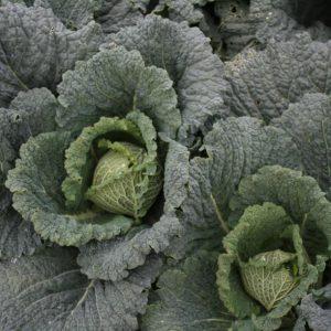 Savoy Cabbage Endurance