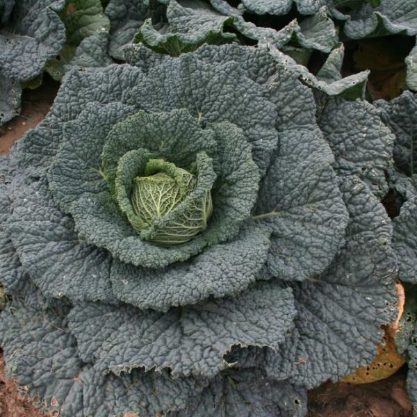 Savoy Cabbage Providence
