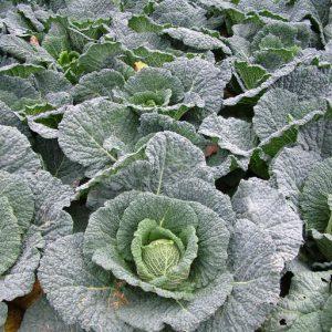 Savoy Cabbage Resolution