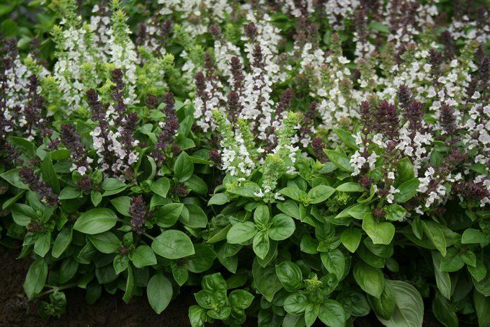 Basil Fragrant Flowers