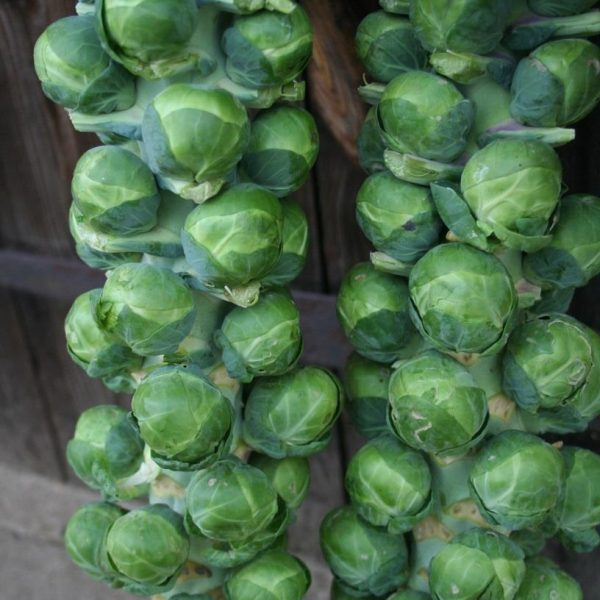 Brussels Sprouts Bosworth F1