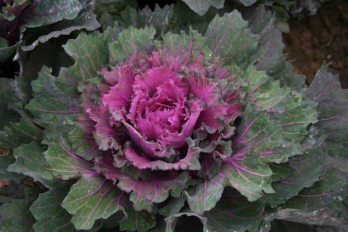 Buttonhole kale starmaker