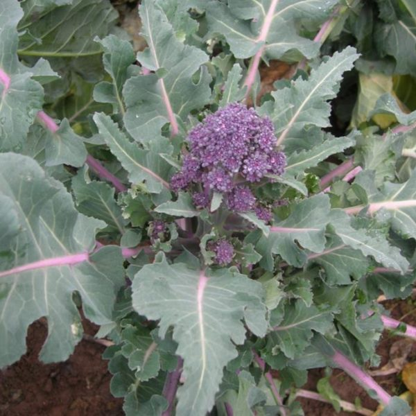 Purple Sprouting Broccoli Cardinal