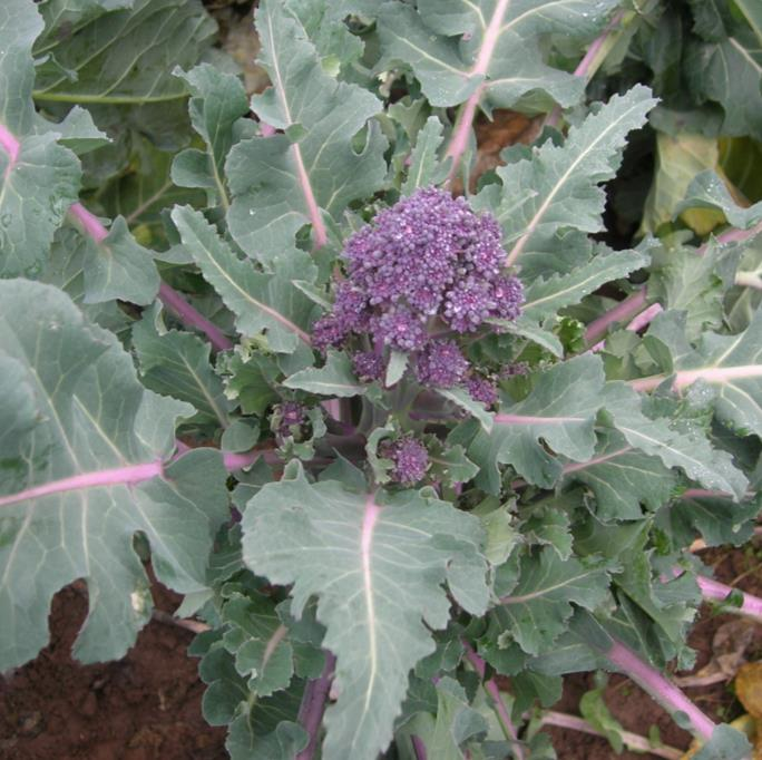 Purple Sprouting Broccoli Cardinal
