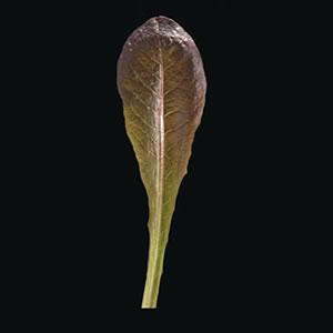 Lettuce Calshot