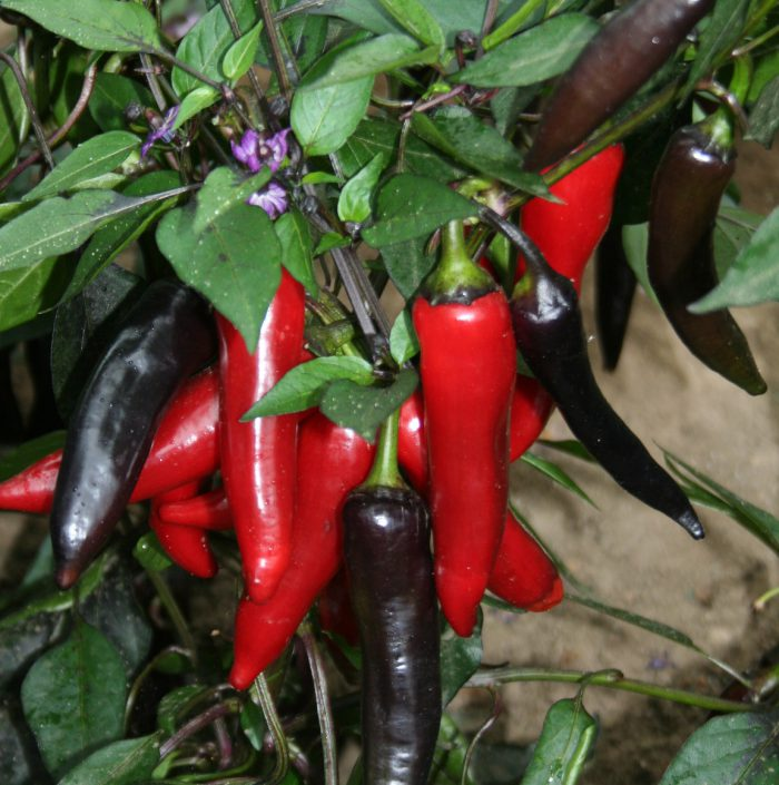 Chilli Pepper Vampire