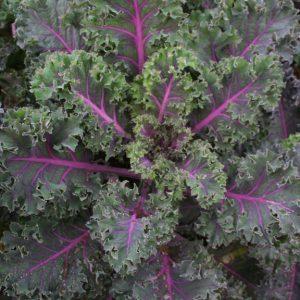 Coloured kale roulette